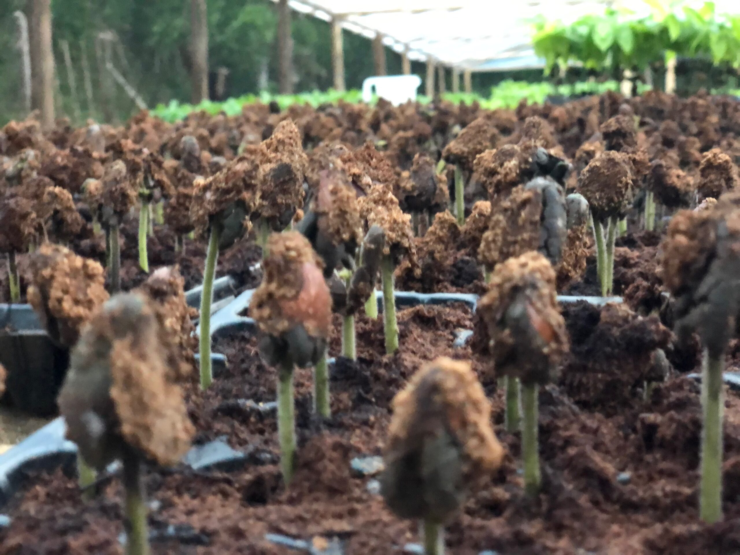 Semillas de cacao recién germinadas